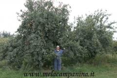 Albero secolare di mele campanine a Quistello (MN) col suo custode