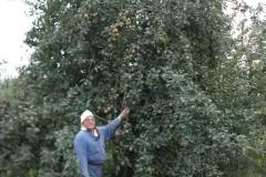 Albero secolare di mele campanine a Quistello (MN) dal 1901,tipico albero del Mantovano ai tempi dei nostri nonni