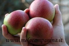 La mela campanina coltivata a Mantova da secoli anche per fare la rinomata mostarda mantovana