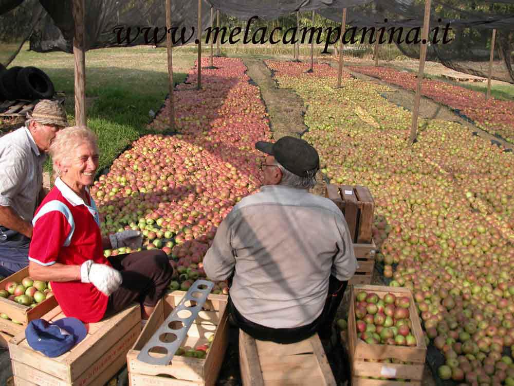 Allegro confezionamento di mele campanine