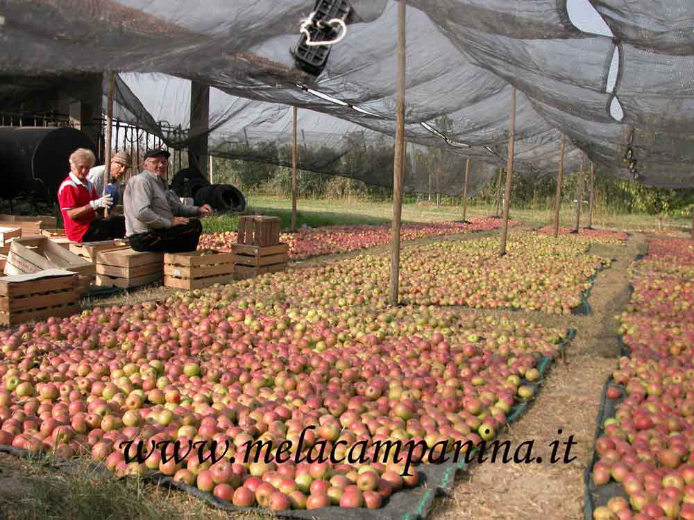 Confezionamento di mele campanine