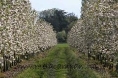 Alberi di mele campanine in fiore coltivati nell'Az.Agr.Paolo Franzoni