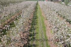 Lunghi filari di mele campanine in fiore nell'Az.Agr.Paolo Franzoni