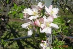 Fiori di mele campanine coltivate nell'Az.Agr.Paolo Franzoni
