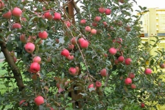 Bellissimi alberi con le mele