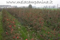 Bellissima distesa di mele pronte per la raccolta
